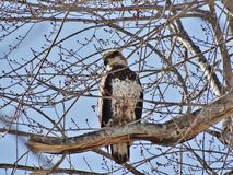Young bald eagle Stock Image