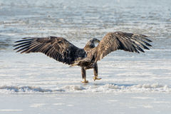 Young Bald Eagle. A young bald eagle lands upon the ice Royalty Free Stock Image