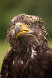 Young bald eagle looking angry Royalty Free Stock Photography