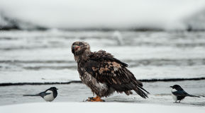 Young Bald eagle with magpie Stock Images
