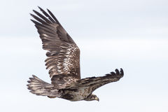 Young Bald Eagle Stock Photography
