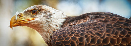 Young Bald Eagle panoramic Stock Photo