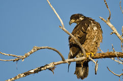 Young Bald Eagle Perched High in a Barren Tree Royalty Free Stock Photography