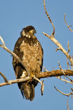 Young Bald Eagle Perched High in a Barren Tree Stock Images