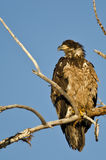 Young Bald Eagle Perched High in a Barren Tree Royalty Free Stock Images