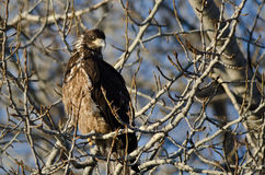 Young Bald Eagle Perched High in a Barren Tree Royalty Free Stock Photo
