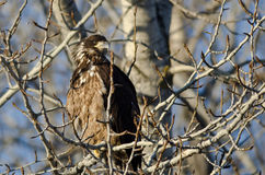 Young Bald Eagle Perched High in a Barren Tree Stock Photo