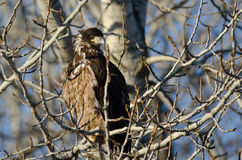 Young Bald Eagle Perched High in a Barren Tree Stock Photography