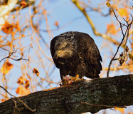 Young Bald Eagle Stock Photo
