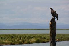 Young Bald Eagle. Perched on post in the mouth of the Ferguson River, Vancouver, British Columbia, Canada. July 2015 Stock Photos