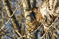 Young Bald Eagle Reaching for a Landing in a Barren Tree Stock Photography