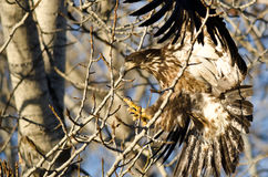 Young Bald Eagle Reaching for a Landing in a Barren Tree Royalty Free Stock Photo