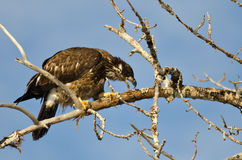 Young Bald Eagle Taking a Bite Out of a Dead Branch Royalty Free Stock Photography