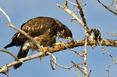 Young Bald Eagle Taking a Bite Out of a Dead Branch Royalty Free Stock Images