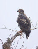 Young bald eagle in a tree. Royalty Free Stock Photos