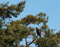 Young Bald Eagle in Tree Stock Photography
