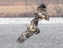 Free Young Bald Eagles Royalty Free Stock Photo - 88307935