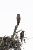 Young Bald Eagles at Nest Stock Images