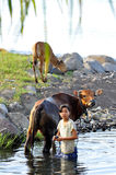 Young balinese girl washing cows. Balinese girl washing cows in a river in amed village bali Stock Images