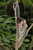 Young Balinese Long-Tailed Monkey Stock Image