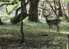Young bambi deer Royalty Free Stock Image