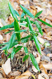 Young bamboo Royalty Free Stock Photography