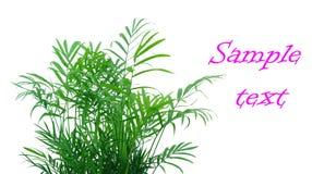 Young bamboo Royalty Free Stock Photos