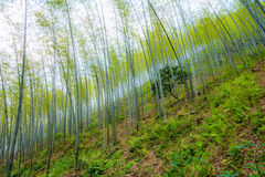 Young bamboo forest. On the hillside. Young thick forest growing on the green hill. Trees on the hill green background Royalty Free Stock Photo