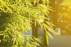 Young bamboo leaves. On a background of the evening sun, toned Royalty Free Stock Image