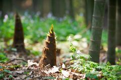 Young bamboo shoot, bamboo sprout in the forest Royalty Free Stock Images