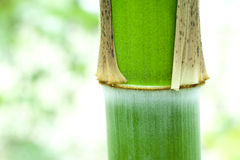 Young bamboo shoot in growth. Young green bamboo in growth Stock Images