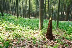 Young bamboo shoot, bamboo sprout in the forest Royalty Free Stock Photos
