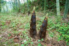 Young bamboo shoot, bamboo sprout in the forest Royalty Free Stock Image
