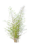 Young bamboo tree. Tropical tree in the northeast of Thailand isolated on white background Royalty Free Stock Photo