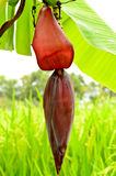 Young banana blossom Stock Photo