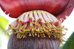 Young banana flower Royalty Free Stock Images