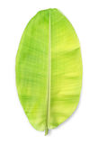 Young banana leaf isolated on white background. Royalty Free Stock Photos