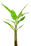 Young banana tree Royalty Free Stock Photography