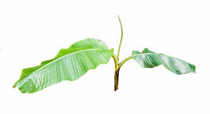 Young banana tree isolated on white Stock Photos