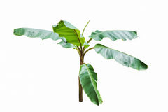 Young banana tree isolated on white Stock Photography