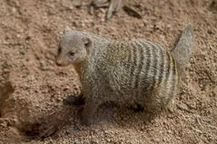 Young Banded Mongoose. Banded Mongoose, left side, standing in rocky sand Stock Image