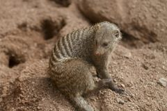 Young Banded Mongoose Sits. Alert Banded Mongoose Sits in rocky sand Royalty Free Stock Photos