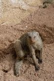 Young Banded Mongoose Sitting. Banded Mongoose Sitting in rocky sand Stock Image