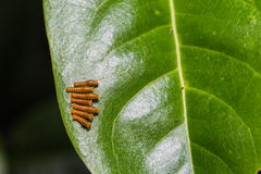 Young Banded Swallowtail caterpillars Stock Images