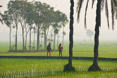 Young Bangladeshi women walk by the rice field in misty morning in Dhaka, Bangladesh. Stock Images