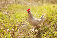 Young Bantam chicken. In a field of grass royalty free stock image