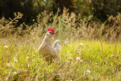Young Bantam chicken Royalty Free Stock Images