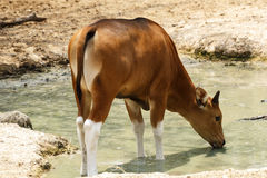 Young Banteng Royalty Free Stock Photos