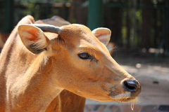 Young  banteng eating straw on park. In rural thailand Stock Photo