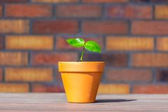 Young baobab latin name Adansonia Digitata seedling is growing in the pot. Green leaf of exotic plant which naturaly grows on. Madagascar. Brown and red brick royalty free stock photos
